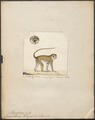 Cercopithecus talapoin - 1700-1880 - Print - Iconographia Zoologica - Special Collections University of Amsterdam - UBA01 IZ19900068.tif