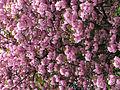 Cerisiers Paris.jpg
