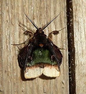 <i>Ceroctena</i> Genus of moths