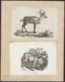 Cervus tarandus - 1700-1880 - Print - Iconographia Zoologica - Special Collections University of Amsterdam - UBA01 IZ21500075.tif
