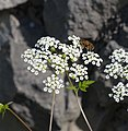 Chaerophyllum temulum inflorescence (01).jpg