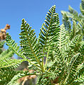 Chamaebatiaria millefolium 8.jpg