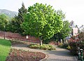 Charles and Diana Wedding Tree - Norway Maple - geograph.org.uk - 798855.jpg