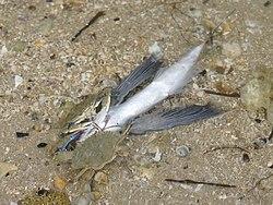 Deux crabes bleus en train de manger un poisson mort