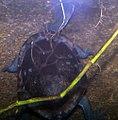 Chelodina longicollis 0zz.jpg