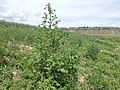 Chenopodium album - lambsquarters - Flickr - Matt Lavin (1).jpg