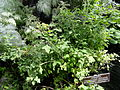 Chenopodium oahuense - United States Botanic Garden - DSC09538.JPG