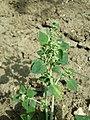 Chenopodium vulvaria sl135.jpg