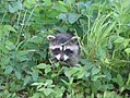 Chequamegon-Nicolet National Forest - baby raccoon.jpg