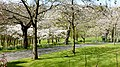 Cherry Trees (33197480253).jpg