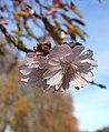Cherry blossom, Belmont Park - geograph.org.uk - 614336.jpg