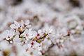 Cherry blossom clouds (8584972018).jpg