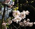 Cherry blossom near Petit Tor - geograph.org.uk - 753725.jpg