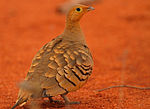 Chestnut-bellied sandgrouse (Pterocles exustus).jpg