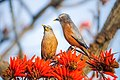 Chestnut-tailed Starling (Couple).jpg