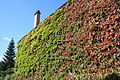 Chevreuse Wall Covered With Japanese Creeper.jpg