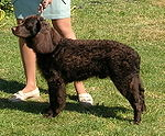 """A curly coated dark brown colored spaniel stands next to its owner."""
