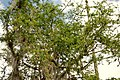 Chiminango (Pithecellobium dulce) (14226756240).jpg