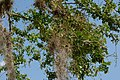 Chiminango (Pithecellobium dulce) (14412201184).jpg