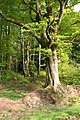Chipstable, beech wood at Heydon Hill - geograph.org.uk - 167609.jpg