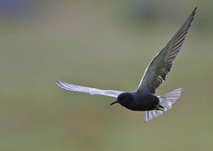 Chlidonias niger English: A Black Tern flying ...