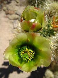 Cholla flower.jpg