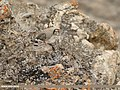 Chukar Partridge (Alectoris chukar) (45581039764).jpg
