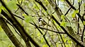 Cincia Mora (Periparus ater).jpg
