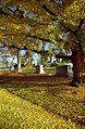 "Cincinnati - Spring Grove Cemetery & Arboretum ""Sandwiched Between Yellow"" (8196421673).jpg"