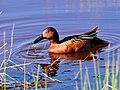 Cinnamon Teal on Seedskadee National Wildlife Refuge (26210777114).jpg