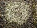 Circinaria contorta 62010348.jpg