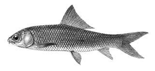 <i>Cirrhinus mrigala</i> species of fish