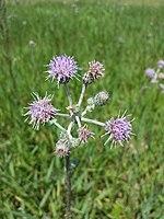 Cirsium brachycephalum sl10.jpg