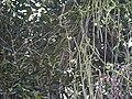 Cissus quadrangularis (9859566893).jpg