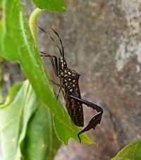 Citron Bug (Leptoglossus gonagra)^ Coreidae - Flickr - gailhampshire (1).jpg
