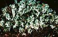 Cladonia caespiticia-5.jpg