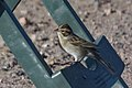 Clay-colored Sparrow Rusty's Rodeo NM 2017-10-05 09-07-04 (37801397285).jpg