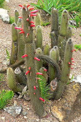 Cleistocactus hyalacanthus 1