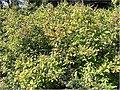Clethra alnifolia 6zz.jpg