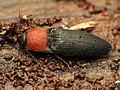 Click Beetle (34435227571).jpg