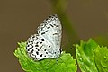 Close wing Basking posture of Acytolepis puspa (Horsfield, (1828)) – Common Hedge Blue WLB-NEI DSC 4460.jpg
