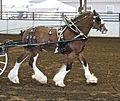 Clydesdale in harness.jpg