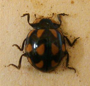 Landcare Research - A card mounted native ladybird (Coccinella leonina) at NZAC