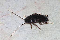 Cockroach May 2007-1