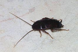 В Китае злоумышленник выпустил миллион подопытных тараканов