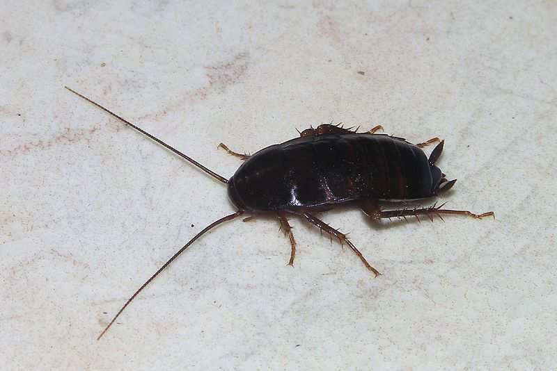 File:Cockroach May 2007-1.jpg