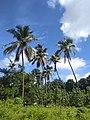 Coconut Tree - Flickr - sajinrajknilambur.jpg