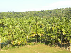 Coconut production in Kerala - Image: Coconut trees and paddy field 02