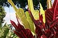 Codiaeum variegatum 35zz.jpg