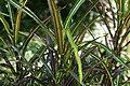 Codiaeum variegatum 45zz.jpg